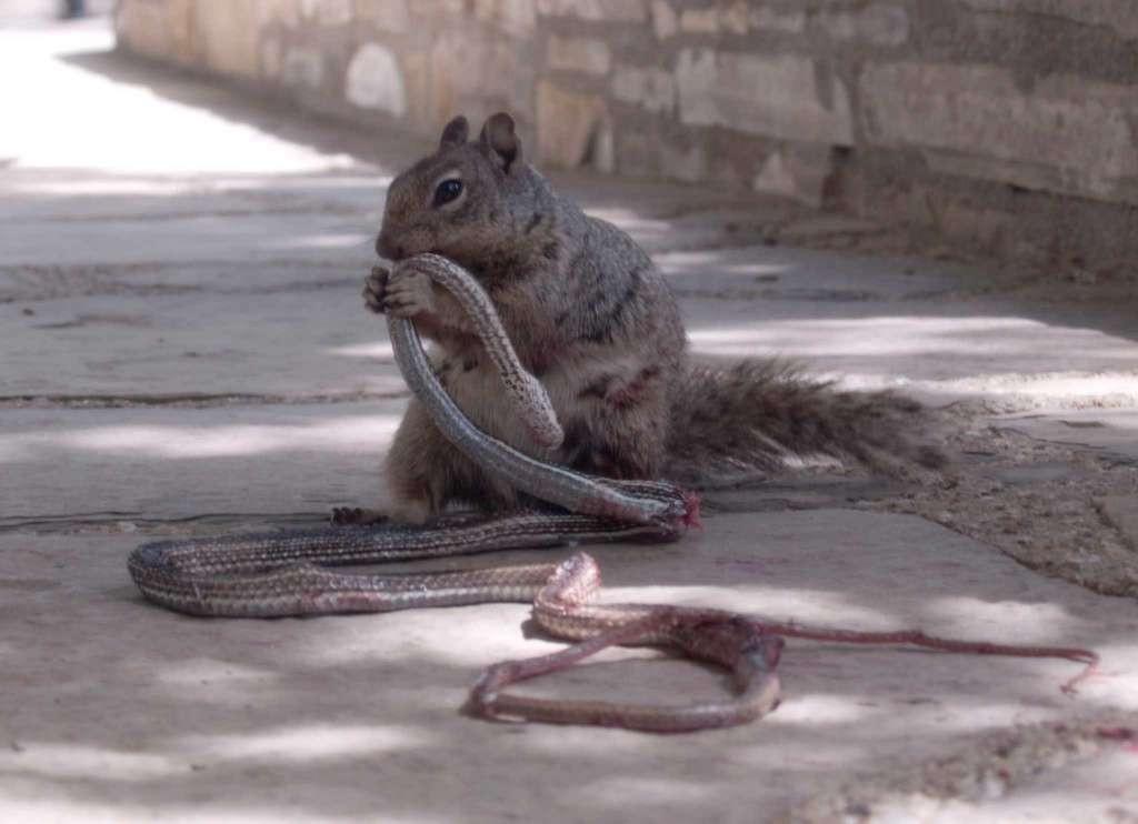 esquilo cobra