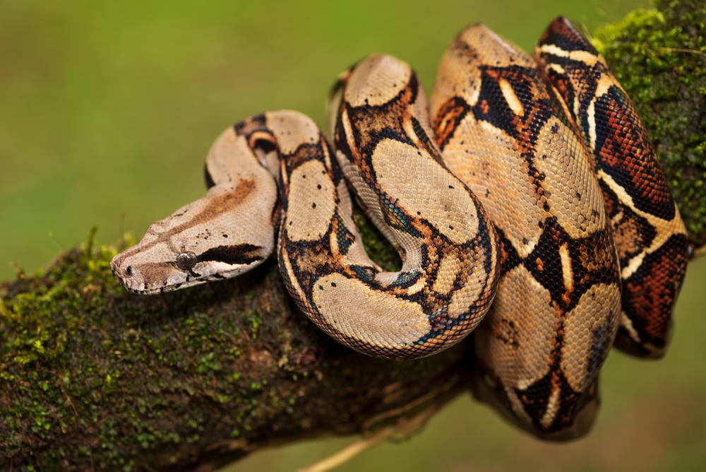 picada cobra