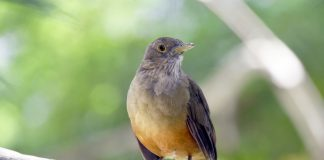 pássaros na natureza