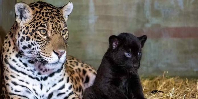 Filhote de onça pintada nasce com pelagem preta na Inglaterra; característica é rara