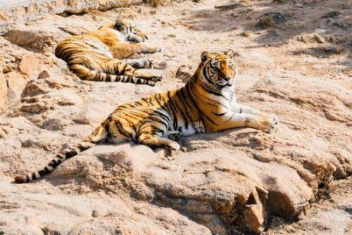 Tigres são executados na China após matarem cuidador de zoológico