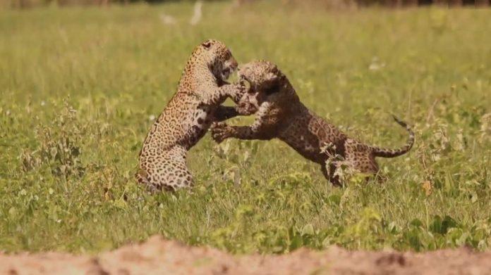 Vídeo mostra onças-pintadas brigando para defender filhotes no MS