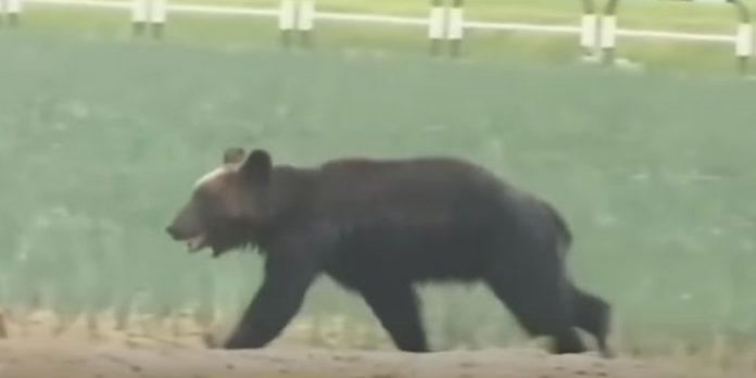 Urso é morto a tiros no Japão depois de invadir cidade e atacar 4 pessoas