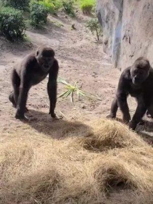 Gorilas se assustam com cobra na Disney e reação viraliza