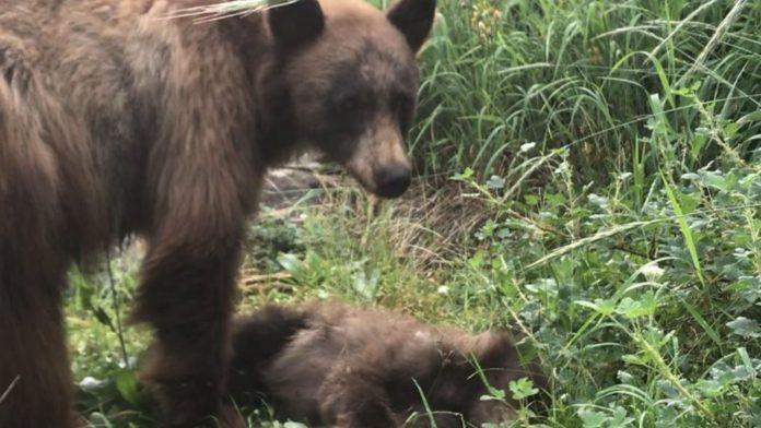 Filhote de urso atropelado por carro