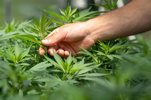 Onda de calor americana pode ajudar crescimento de cannabis