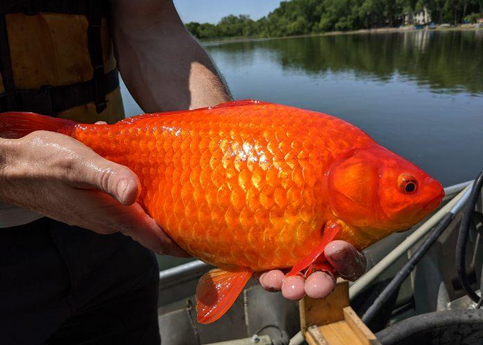 Peixinhos dourados gigantes são encontrados em rio dos EUA