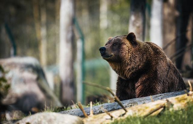 Ataque de urso mata vítima que acampava em Montana