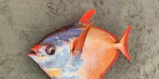 Peixe raro de 45kg intriga pesquisadores