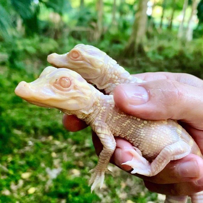 Jacarés albinos nascem em zoológico da Flórida