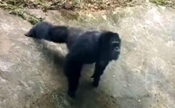 Chimpanzé faz flexões imitando visitante em zoo; VÍDEO