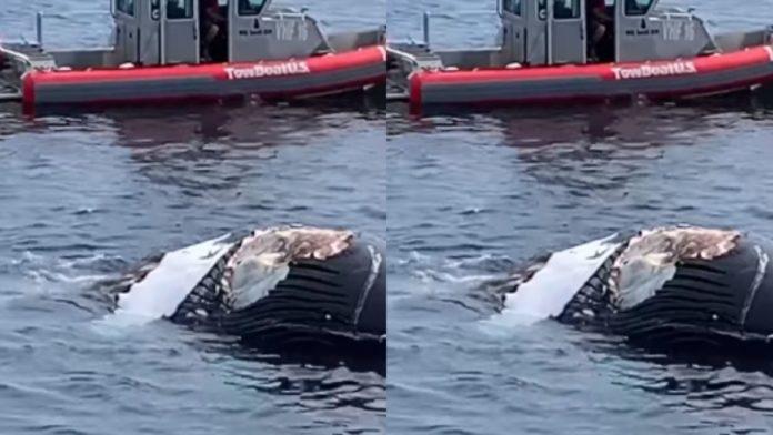 Tubarões devoram filhote de baleia jubarte morto; assista