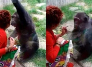 Mulher é banida de zoológico por relação afetiva com chimpanzé