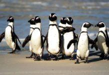 Pinguins ameaçados de extinção são mortos por enxame de abelhas
