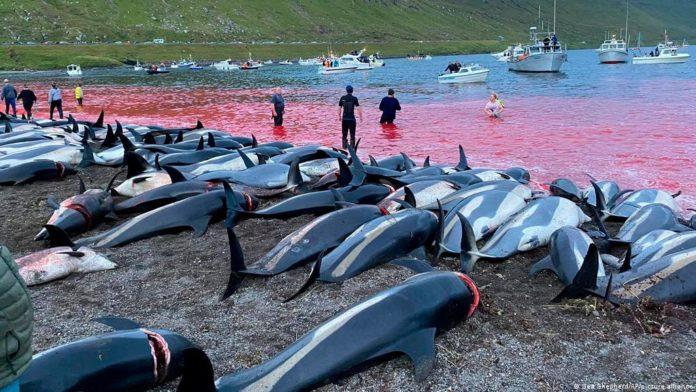 Massacre de golfinhos nas ilhas Faroé quebra recorde