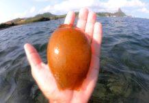 Ovo de tubarão é encontrado em Fernando de Noronha
