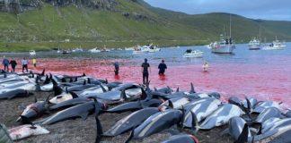 Mais de 1.400 golfinhos são mortos durante tradição das Ilhas Faroé