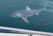 Pescadores 'lutam' com tubarão de quase 250 kg