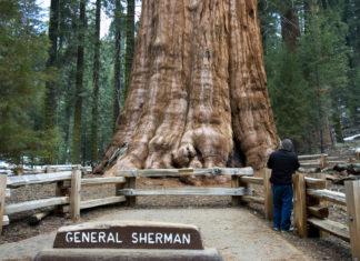 Maior árvore do mundo ganha proteção contra incêndio florestal nos EUA