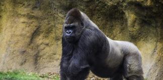 Gorilas de zoológico devem receber vacina da covid após testarem positivo