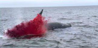 Vídeo mostra momento em que baleia morta explode
