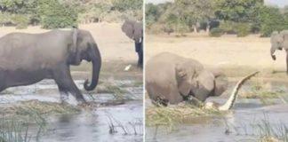 Mamãe elefanta esmaga crocodilo até a morte após ter filhos ameaçados